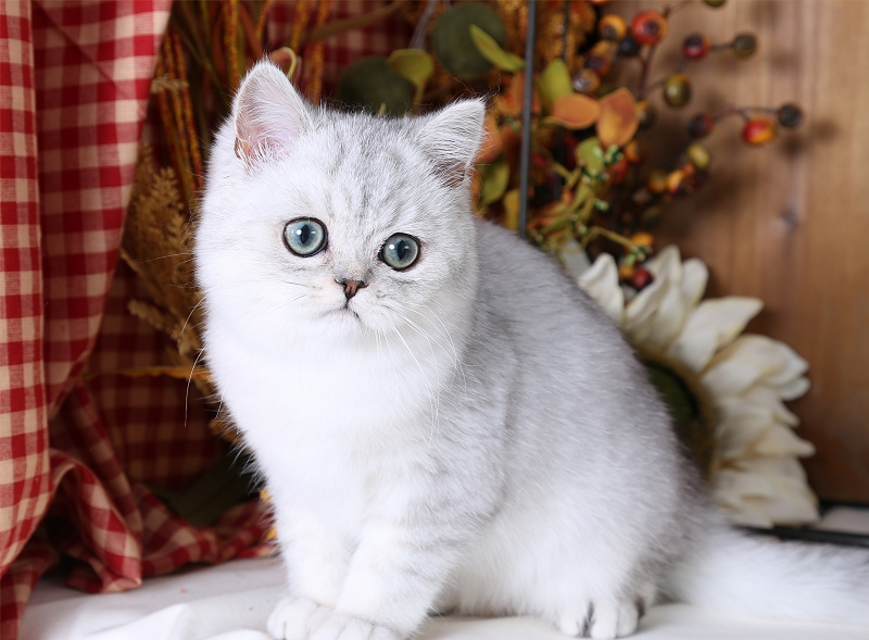Silver Chinchilla Exotic Shorthair Persian Kitten
