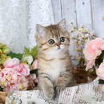 Golden Chinchilla Exotic Shorthair Persian Kitten