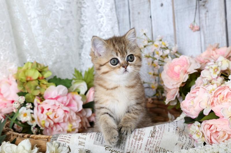 Golden Chinchilla Exotic Shorthair Persian Kitten