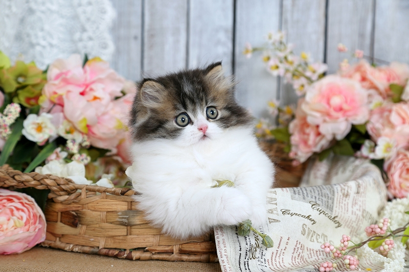 Tabby & White Bi-Color Persian Kitten
