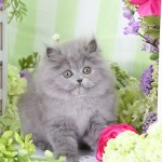 Blue Persian Kitten