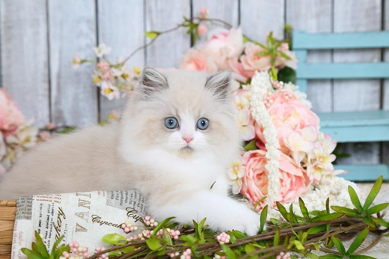 Blue Bicolor & White Himalayan Kitten