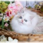 Dilute Calico Himalayan Kitten