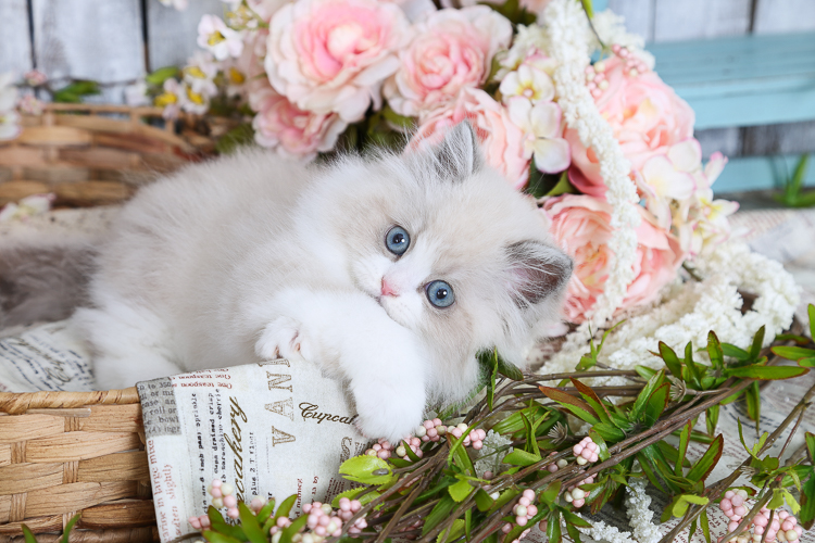 Blue Bi-Color & White Himalayan Kitten