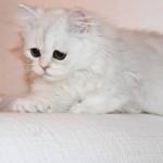 Doll Face Persian Kittens Reviews – Kristan & Family