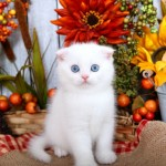 White Exotic Shorthair Persian Fold Kitten