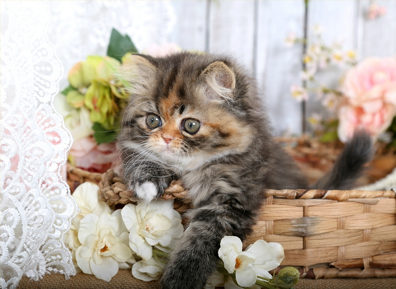Calico Tabby Persian Kittens For Sale