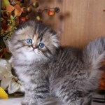 Cream Patched Shaded Golden Floppy Eared Persian Kitten
