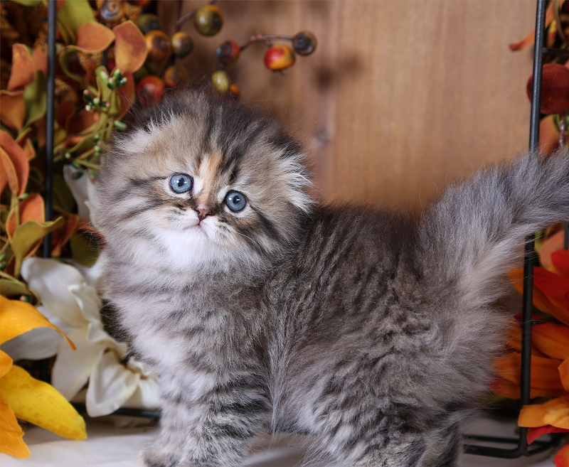 Persian Cat Colors Pictures