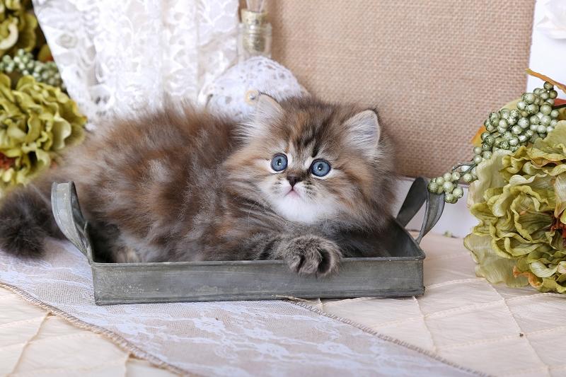 Cinnamon Tortoiseshell Tabby Persian Kitten