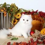 White with Cream Persian Kitten