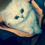 Doll Face Persian Kittens Reviews – Kristan & Family