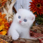 Cream Lynx Point Exotic Shorthair Himalayan Fold Kitten