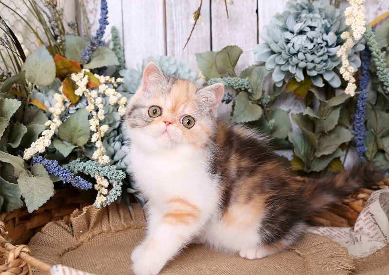 Calico Smoke Exotic Shorthair Persian Kitten