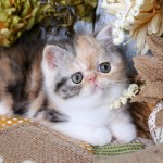 Calico Smoke Exotic Shorthair Persian Kitten
