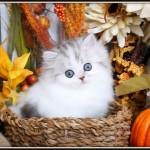 Silver & White Patchwork Persian Kitten