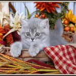 Blue Silver Tabby Exotic Shorthair Persian Kitten