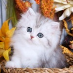 Silver Tabby & White Bi-Color Persian Kitten