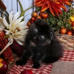 Tortoiseshell Exotic Shorthair Persian Fold Kitten