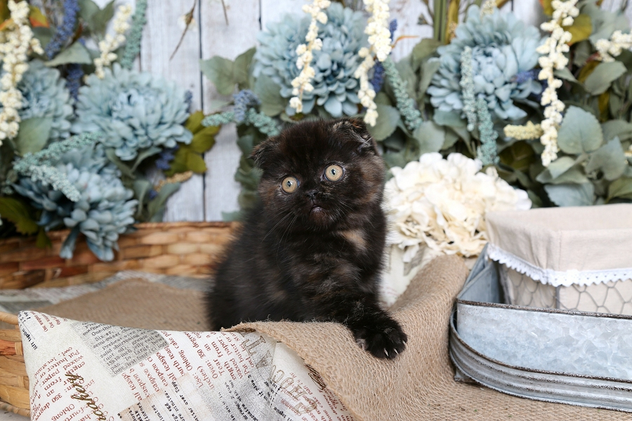 Tortie Exotic Shorthair Persian Fold Kitten
