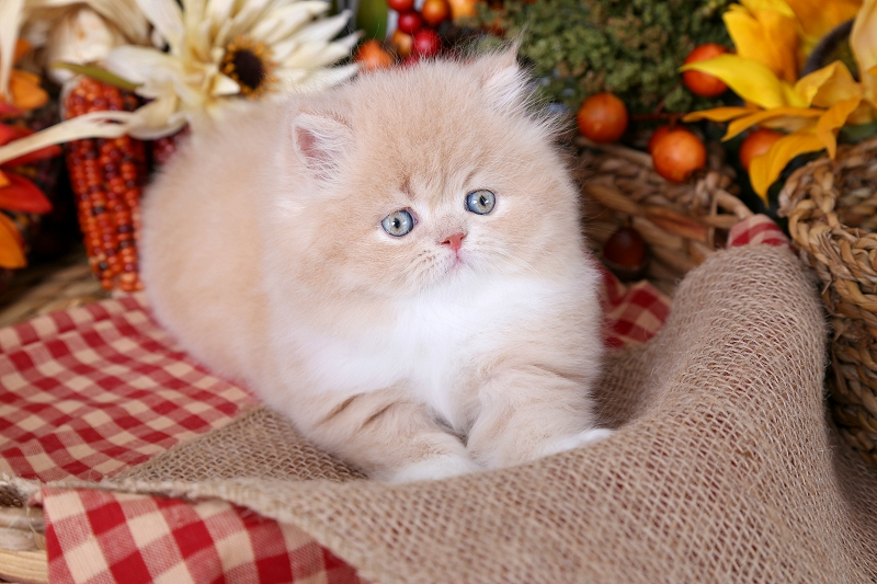 Cream and white bicolor Persian Kitten