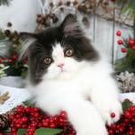 Black Smoke & White Bi-Color Persian Kitten