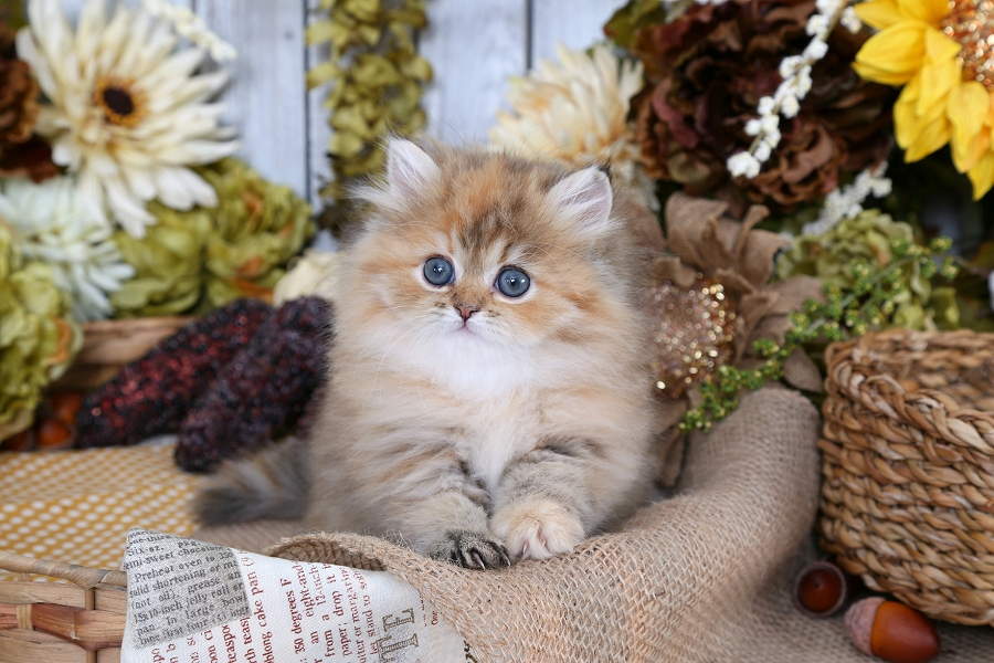 Cinnamon Golden Tortie Persian Kitten