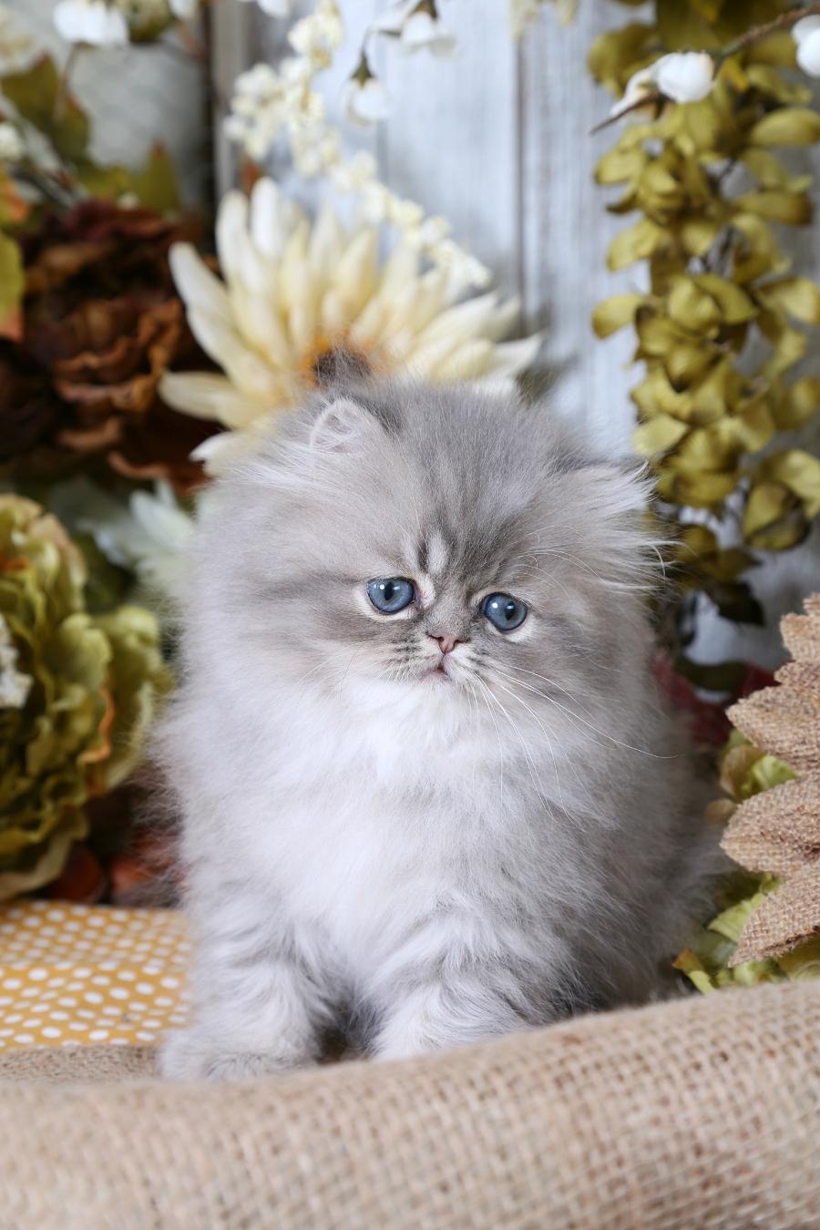 Silver tabby persian