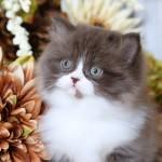 Chocolate & White Bi-Color Persian Kitten