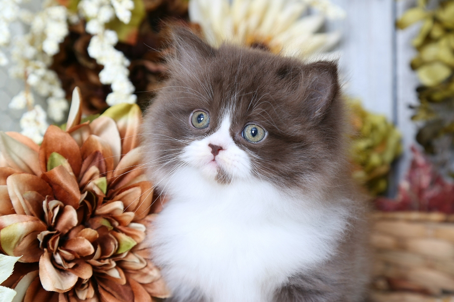 Chocolate & White Bi-Color Persian Kitten