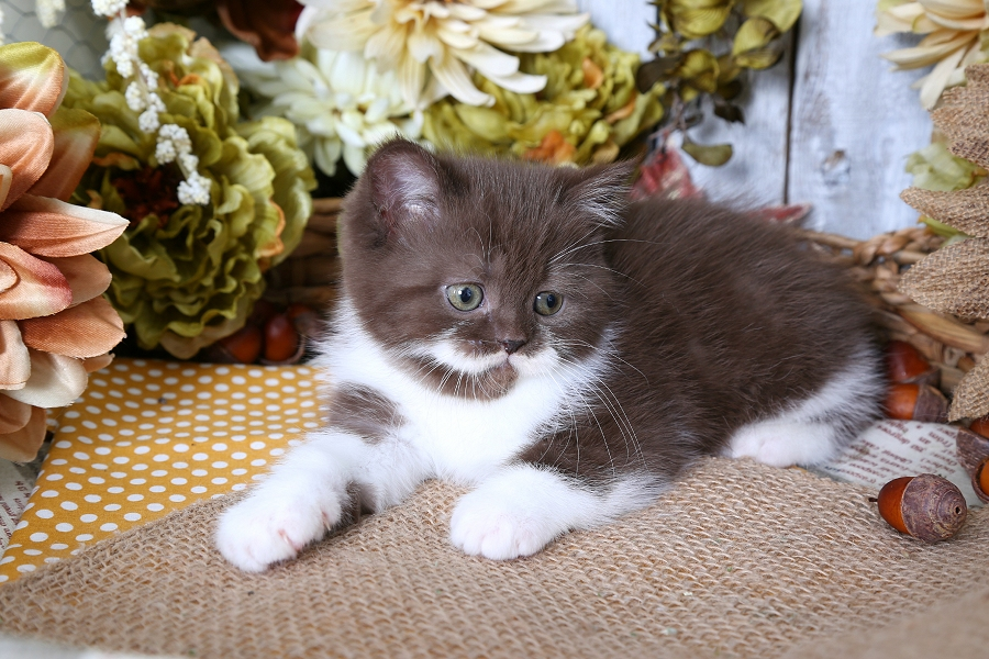 Chocolate & White Exotic Shorthair Persian Kitten