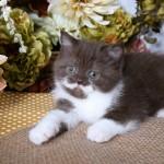 Chocolate & White Exotic Shorthair Persian Kitten