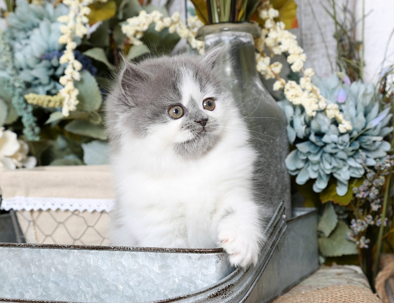 Blue & White Bi-Color Persian Kitten