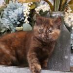 Chocolate Tortoiseshell Exotic Shorthair Persian Kitten