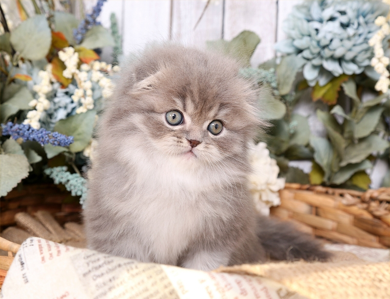 Chinchilla Blue Golden Persian Fold Kitten