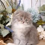 Chinchilla Blue Golden Persian Fold Kitten