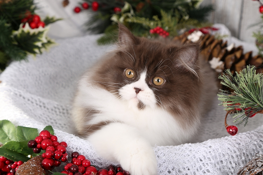 Chocolate & White Persian Kitten