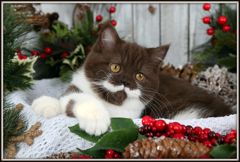 Chocolate & White Bi-Color Exotic Shorthair Persian Kitten