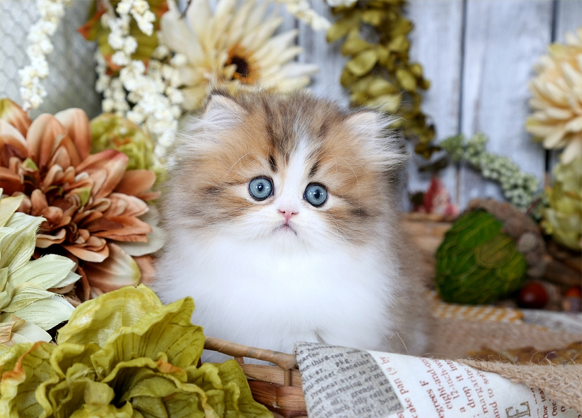Teacup Persian Kitten for Sale