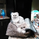 Doll Face Persian Kittens Reviews – The Hall Family