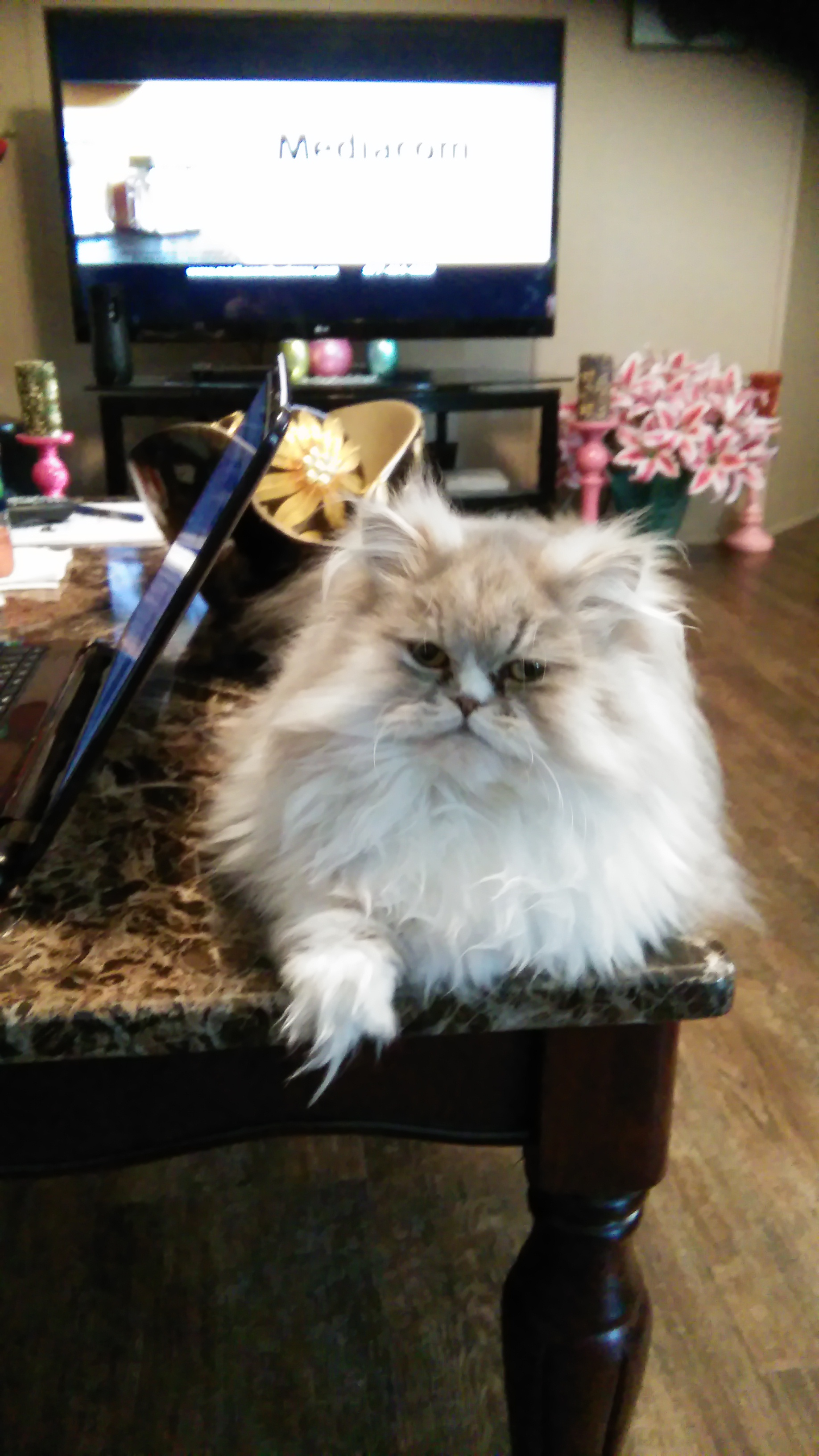 Doll Face Persian Kittens Reviews - The Hall Family