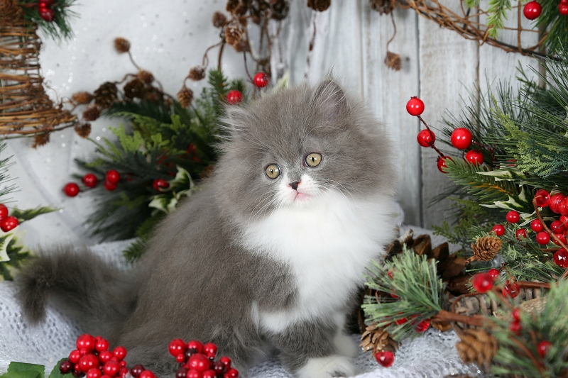 Blue and White Persian Kitten