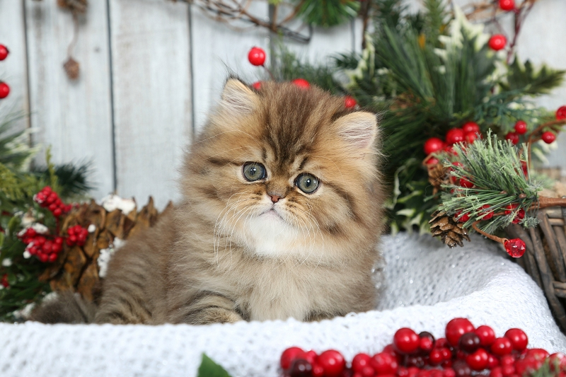 Golden Shaded Persian Kitten