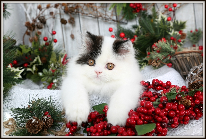 Black & White Bi-Color Persian Kitten