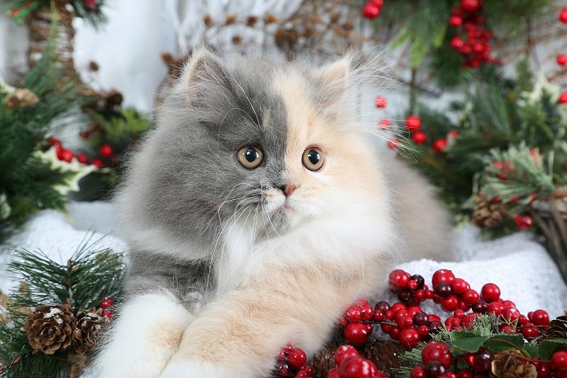 Pastel Calico Persian Kitten