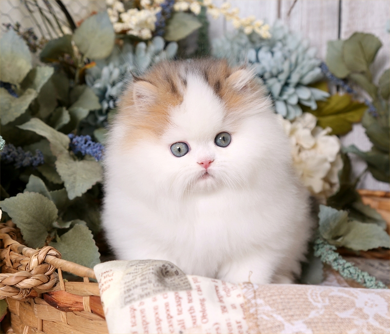 Golden Chinchilla & White Bi-Color Persian Kitten