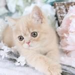 Cream Exotic Shorthair Persian Kitten