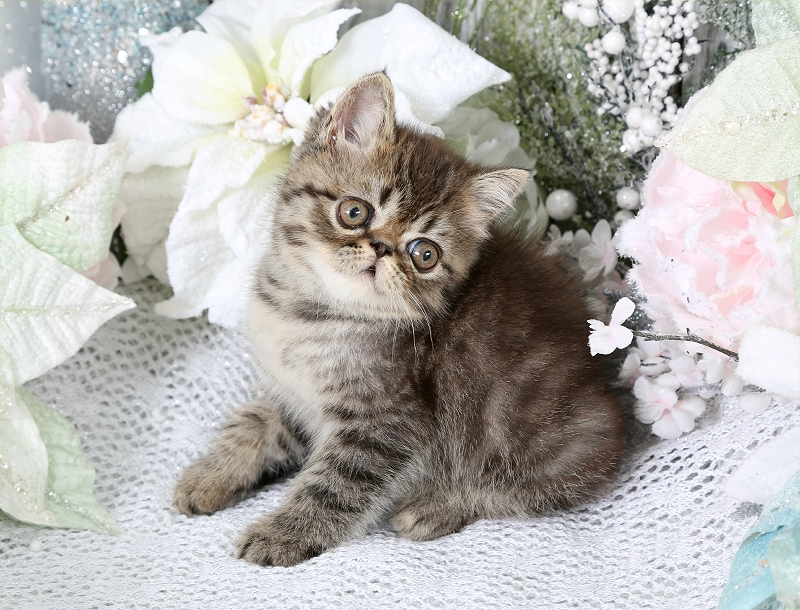 Jungle Baby Exotic Shorthair Persian Kitten