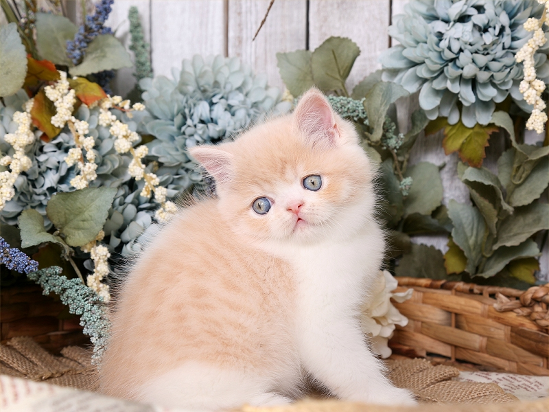 Cream & White Exotic Shorthair Persian Kitten