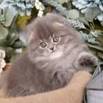 Blue Silver Tabby Persian Fold Kitten